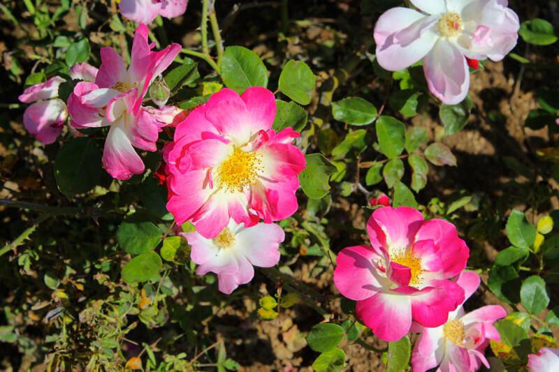 wild-rose-74586