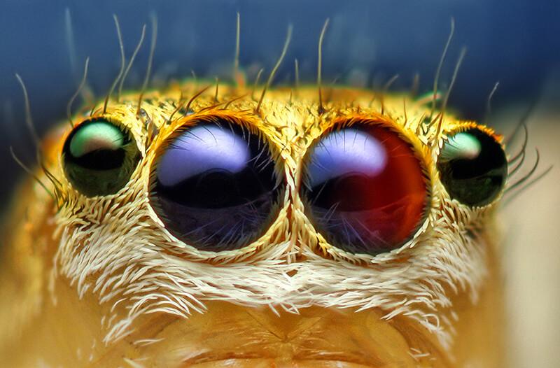 Maevia_inclemens_eyes